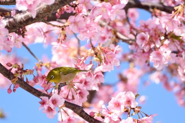 満開の河津桜と鳥