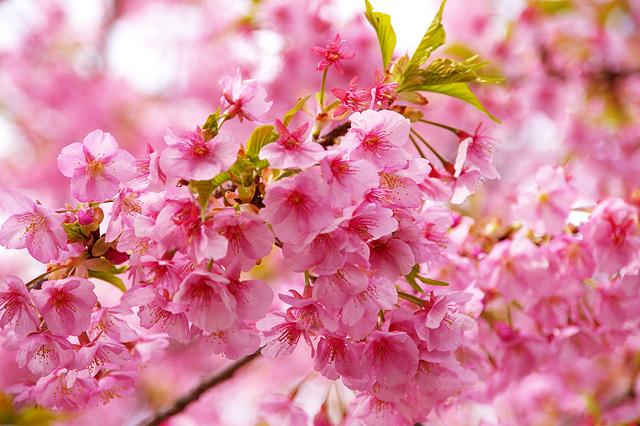 ピンクの花を咲かせた河津桜