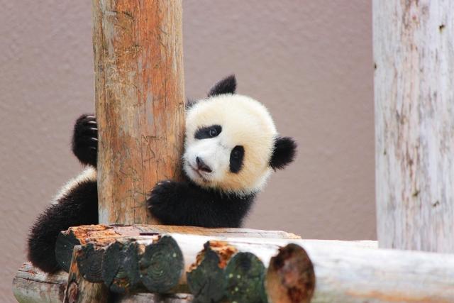柱につかまるパンダ