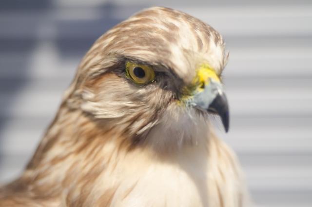 鷹の顔のアップ
