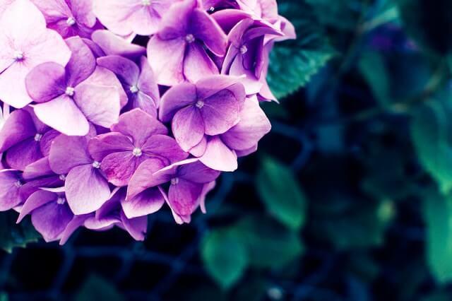 紫色のあじさいの花