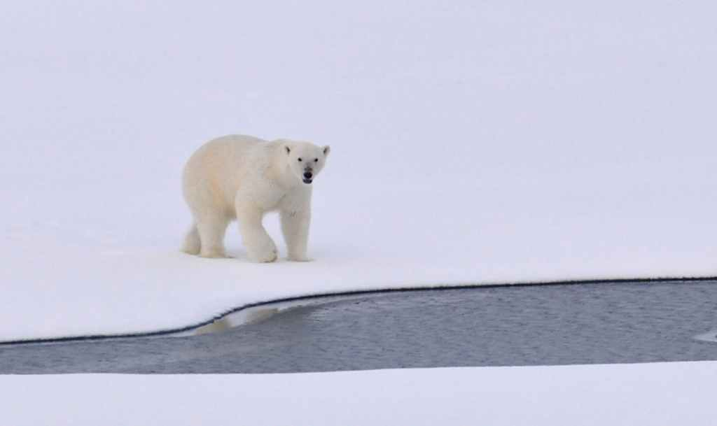white polar bear on white snowy field near canal during daytime