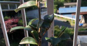 成長が遅い山茶花