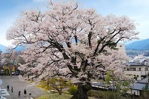 安富桜(飯田市美術博物館)