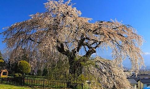 関所破りの桜