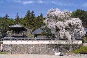 福王寺のシダレザクラ