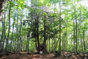 岩岳山頂・ねずこの森自然探勝路