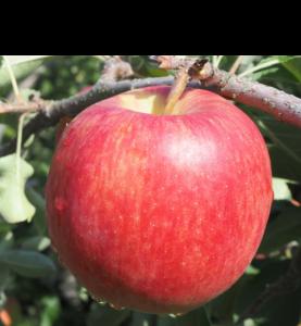 シナノドルチェ|りんご|減農薬|通販