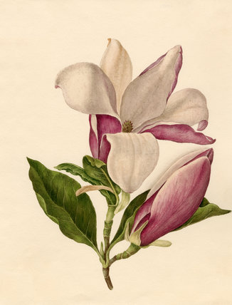 Watercolour of Magnolia officinalis flowers and leaves by Caroline Maria Applebee. Applebee was born in London in 1799 and appears to have been the daughter of a wealthy middle-class family that had conservatories and greenhouses.