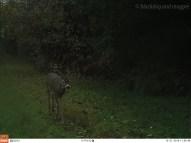 The Deer Called Bucky