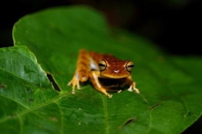 Hypsiboans Tree Frog ~ Shiripuno Lodge ~ Amazon Herping Week