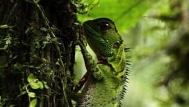 Amazon Dwarft Iguana ~ Shiripuno Lodge ~ Amazon Herping Week