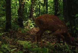 Red Brocket Deer ~ Shiripuno Lodge ~ Amazon Rainforest Mammals
