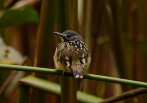 Shiripuno Lodge - Dot-backed Antbird among the most beautiful Rainforest skulkers.