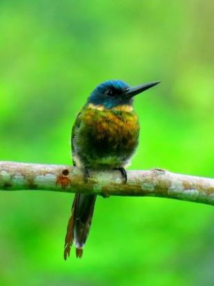 Shiripuno Lodge ~ Purplish Jacamar a canopy specialist
