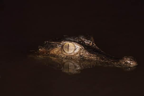 The Smooth-fronted Caiman likes to eat catfish.