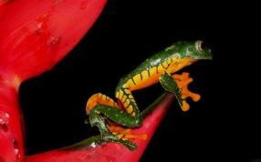 Amazon Leaf Frog (Cruziohyla craspedopus)
