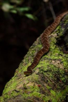 Fer-de-lance resting along the trunk we used for crossing. Yasuni Biosphere Reserve.