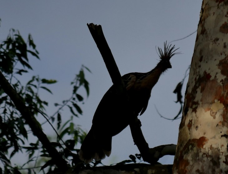 Hoatzin is a bizarre bird, eats leaves, social brooders, ancient bird group.