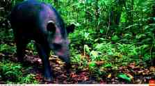 The Lowland Tapir is the largest mammalliving in the Amazon Rainforest, it feeds on fresh and young leaves and visit forest clay licks.