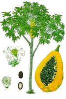 a normal papaya tree