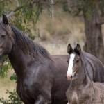 Shire Horse Society Of Australia Registrar Of The Australian Shire Horse Stud Book