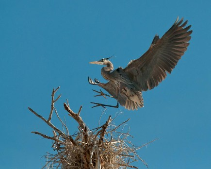 Great Blue landing at nest NATURE