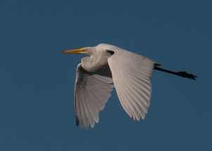 Tres Rios Egret BIRDS and NATURE
