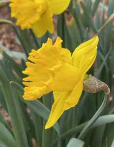"""""""And then my heart with pleasure fills/and dances with the daffodils."""""""