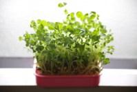 話題の豆苗(とうみょう)を家庭で育てる、栽培のコツとは?