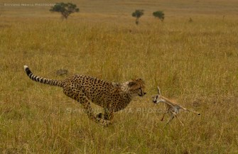 Malaika cub attempting a gazelle kill