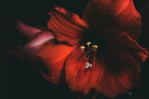 ミッドナイト・シャクティ赤い花