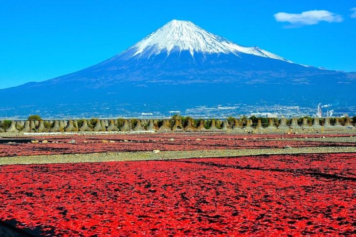 由比港に水揚げされた桜えびは翌朝、富士川河川敷に天日干しされます