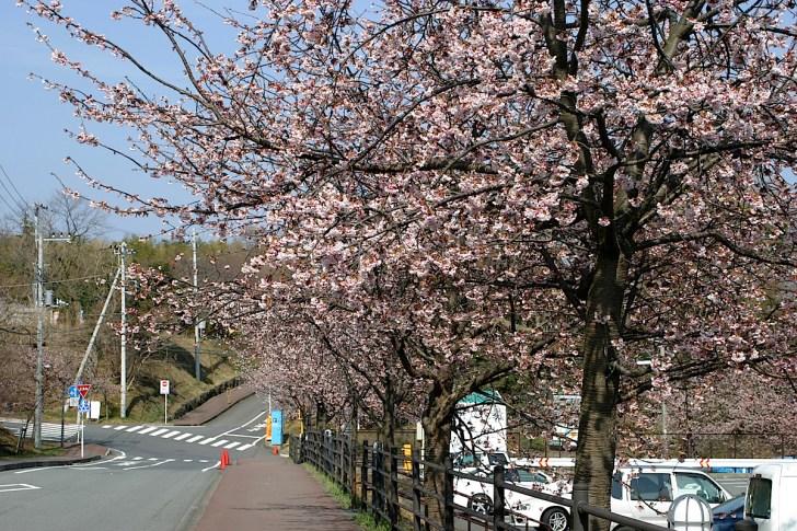 ソメイヨシノよりひと足早く咲く、伊豆高原の大寒桜