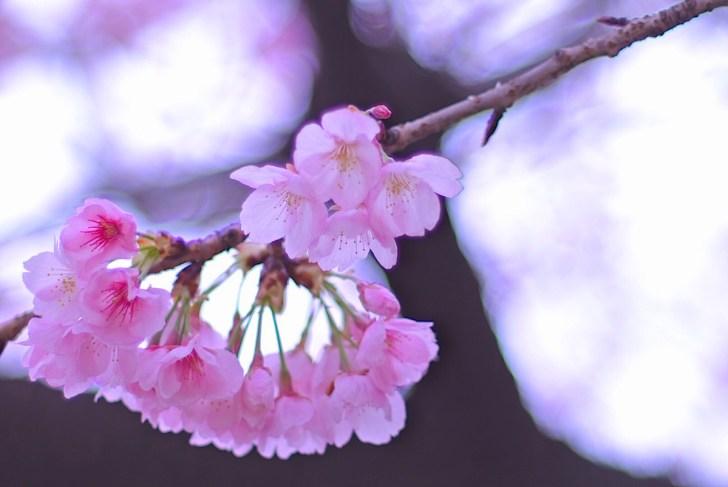 大寒桜(安行桜)