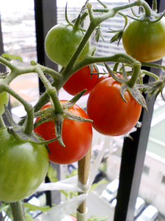 tomato-mini
