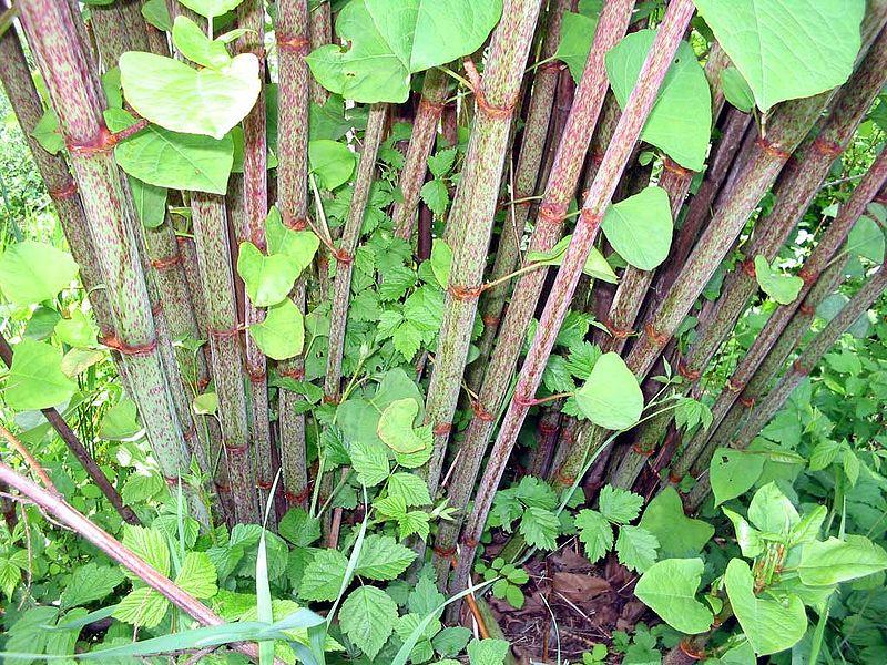 itadori-japanese-knotweed