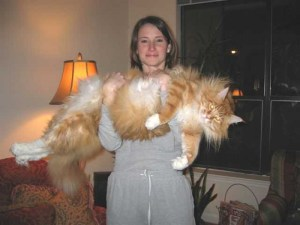 Maine Coon cat held by owner