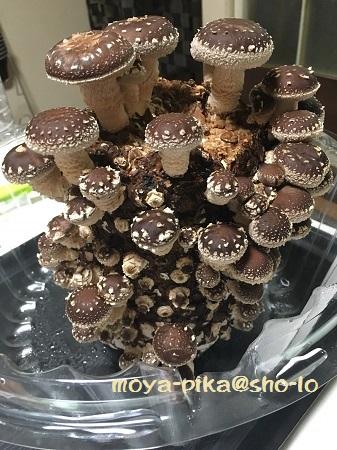 shiitake-saibai-20