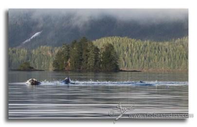 humpback whales bubble netting