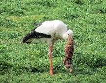 Stork carrying a dead rabbit http://en.wikipedia.org/wiki/White_stork#mediaviewer/File:Stork_picking_at_rabbit.jpg