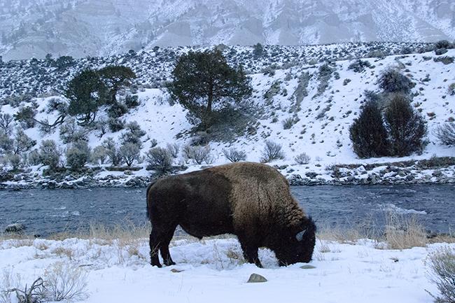 Montana Buffalo (No Zoom!)