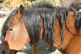 Horse with mane dreadlocks