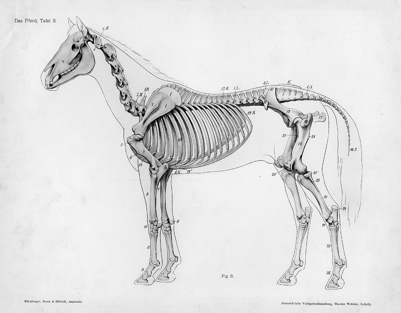Horse Anatomy By Herman Dittrich Full Body Skeleton