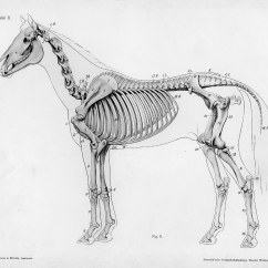 Skunk Skeleton Diagram Sentence Diagramming Exercises Horse Anatomy By Herman Dittrich  Full Body