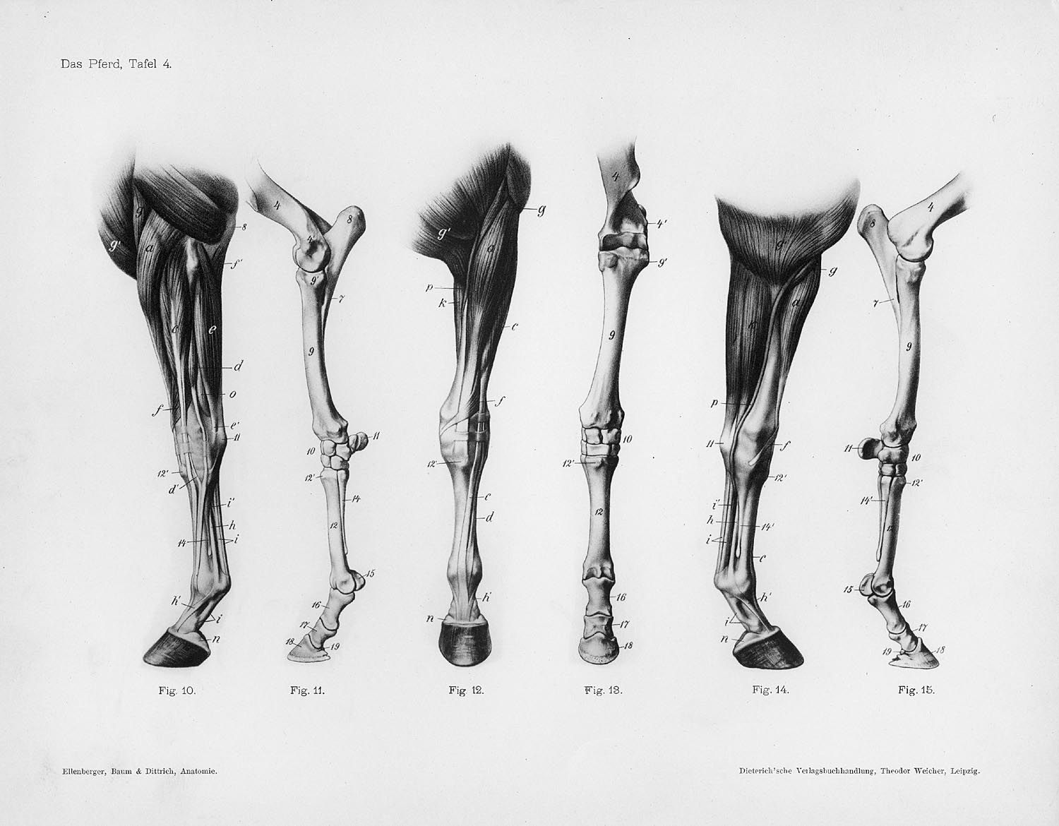 Horse Anatomy By Herman Dittrich Front Legs