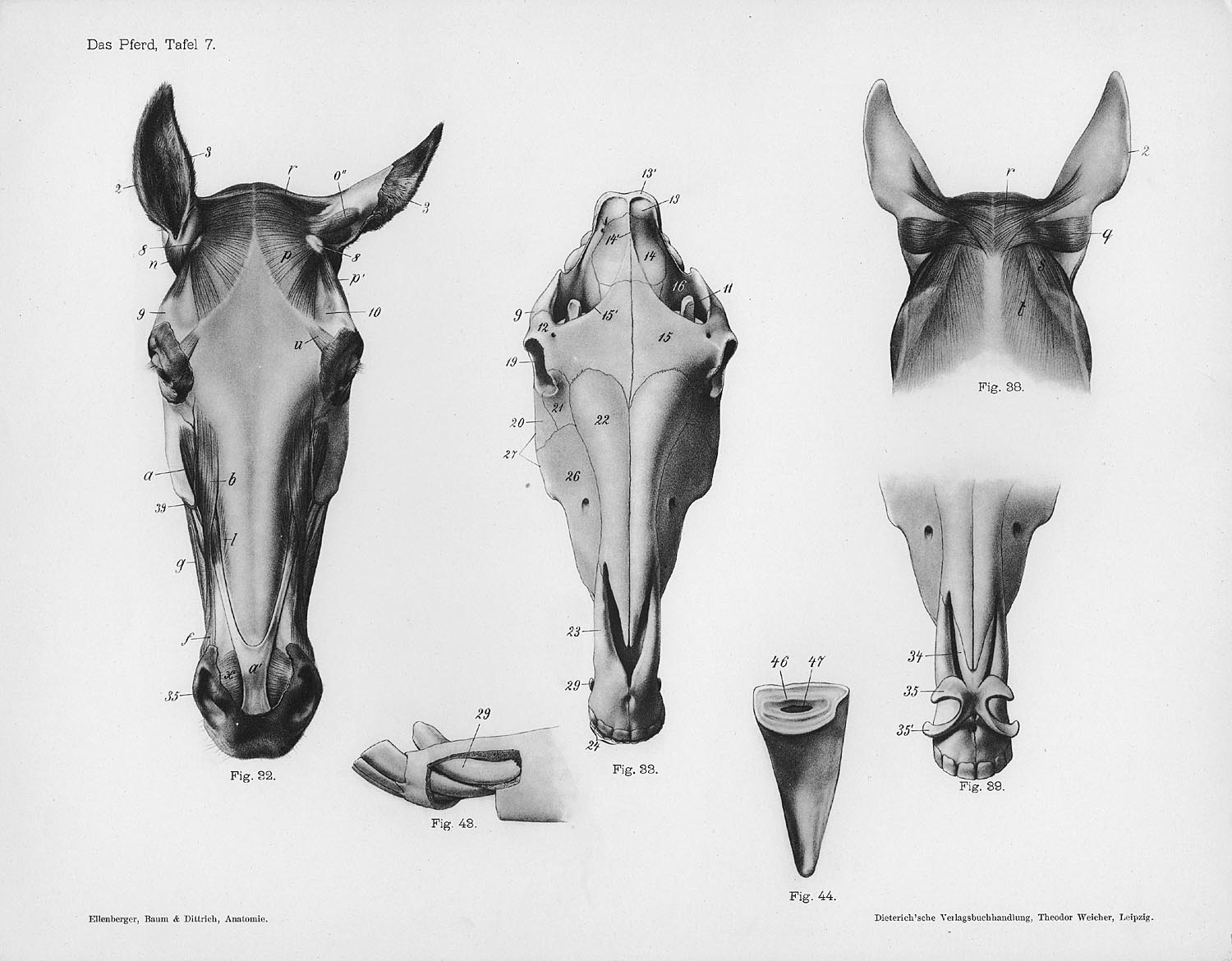 horse muscle and bone diagram land rover discovery 2 trailer wiring anatomy by herman dittrich  head ears