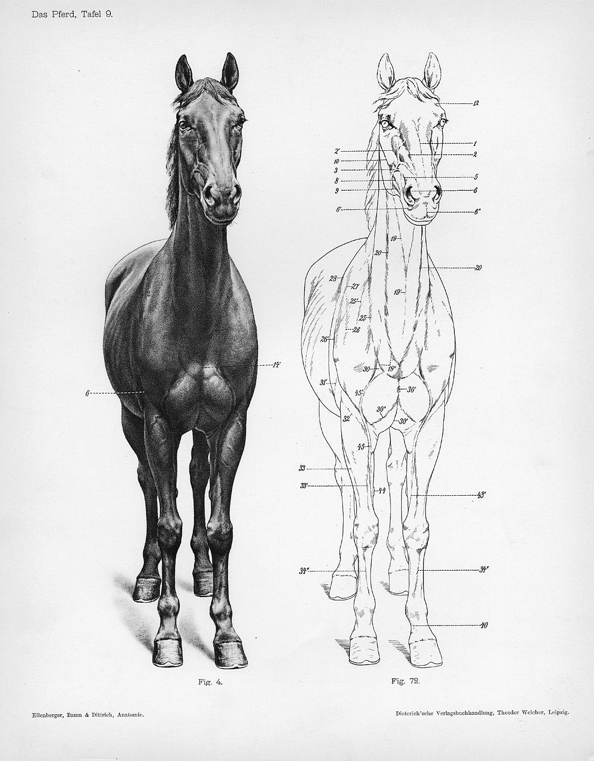 horse anatomy diagram muscles 2002 saturn sl wiring front view drawing