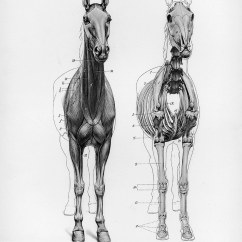 Horse Anatomy Diagram Muscles 1998 Subaru Impreza Outback Sport Wiring By Herman Dittrich  Front View Musculature