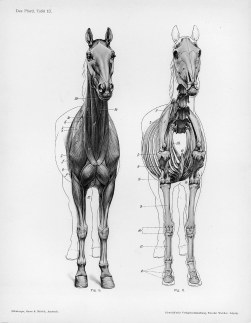 Horse anatomy by Herman Dittrich - front view musculature and bones